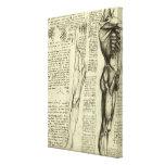 Bosquejo masculino de la anatomía del músculo de L Impresión En Lona Estirada