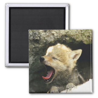 Bostezos del perrito del coyote iman de frigorífico