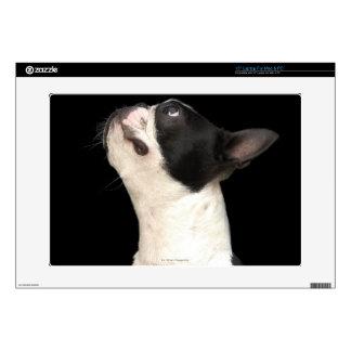 Boston blanco y negro Terrier que mira para arriba Skins Para Portátiles