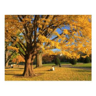 Boston Public Garden Ginko Tree in Autumn Postcard