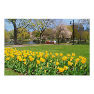 Boston Public Garden Yellow Tulips Poster