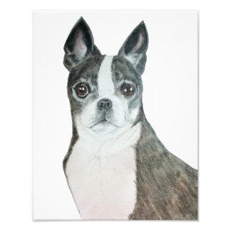 Boston Terrier 11 x 14 Print Photograph
