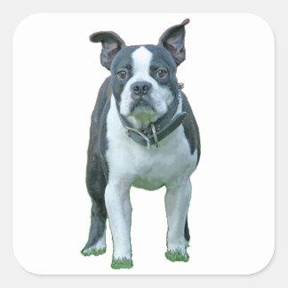 Boston terrier  1b square sticker