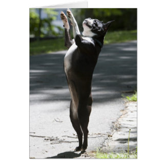 Boston Terrier 2 Greeting Card