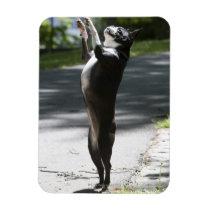 Boston Terrier 2 Magnet