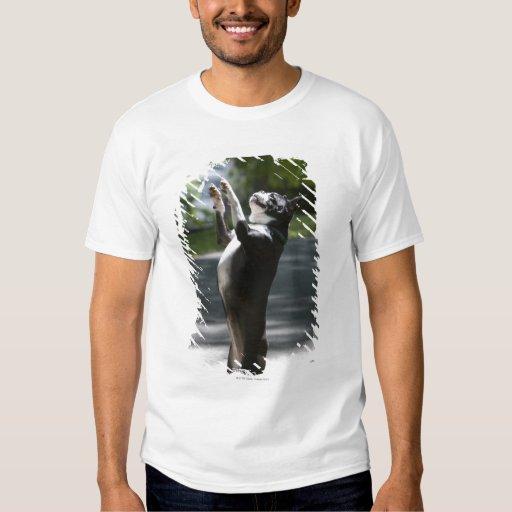Boston Terrier 2 Poleras