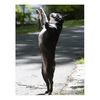 Boston Terrier 2 Postcard