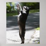 Boston Terrier 2 Poster