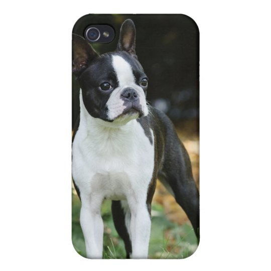 Boston terrier 4 iPhone 4/4S cover