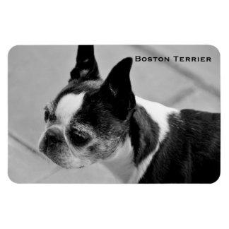 Boston Terrier blanco y negro Iman