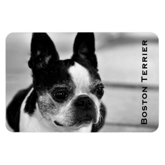Boston Terrier blanco y negro Imanes