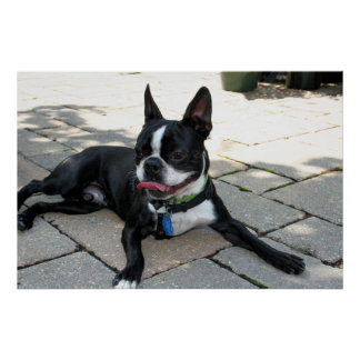 Boston Terrier Boston-5 Print