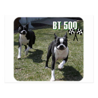Boston Terrier:  BT 500 Postcard