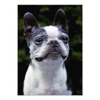 Boston Terrier, color, Fotografías