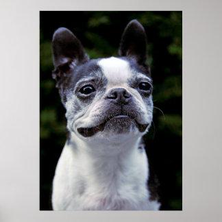 Boston Terrier, Color, Poster