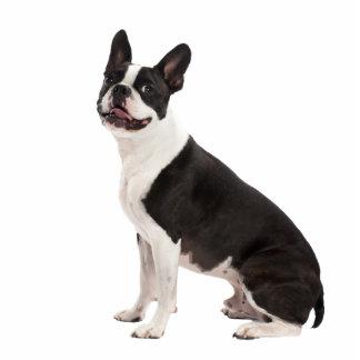 Boston Terrier dog beautiful photo sculpture, gift