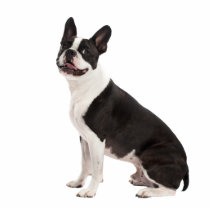 Boston Terrier dog beautiful photo sculpture, gift Statuette