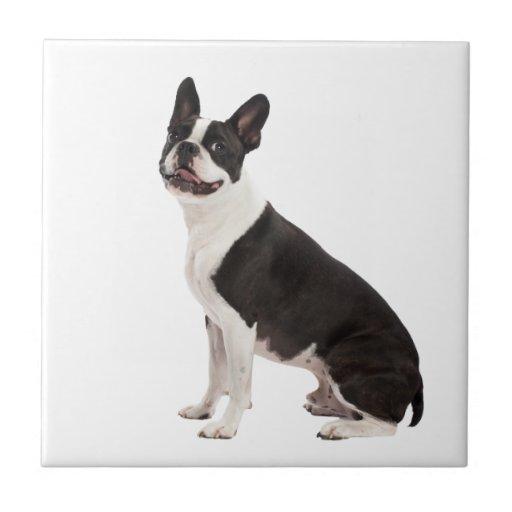 Boston Terrier dog beautiful photo, tile, gift Tile