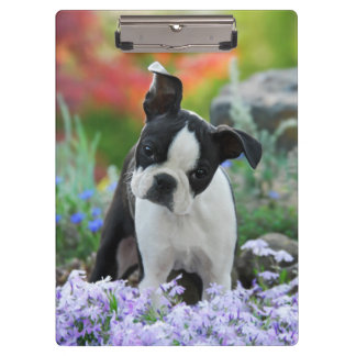 Boston Terrier Dog Cute Puppy Portrait Photo - on Clipboard