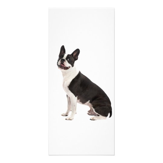 Boston Terrier dog photo blank rack card