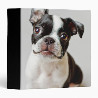 Boston Terrier dog puppy. Binder