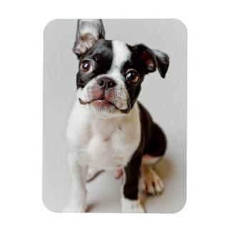 Boston Terrier dog puppy. Rectangular Photo Magnet