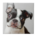 Boston Terrier dog puppy. Small Square Tile