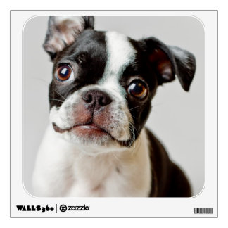 Boston Terrier dog puppy. Wall Decal