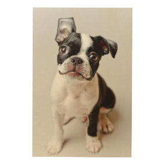 Boston Terrier dog puppy. Wood Prints