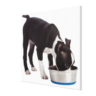 Boston terrier eating from bowl canvas print