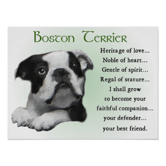 Boston Terrier Gifts Poster