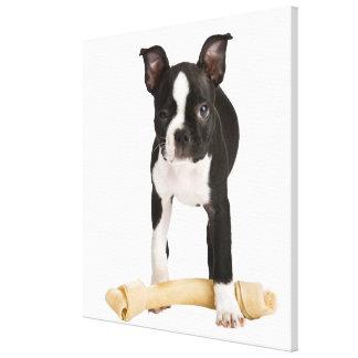 Boston terrier guarding twisty bone canvas print