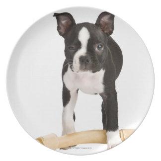 Boston terrier guarding twisty bone plate