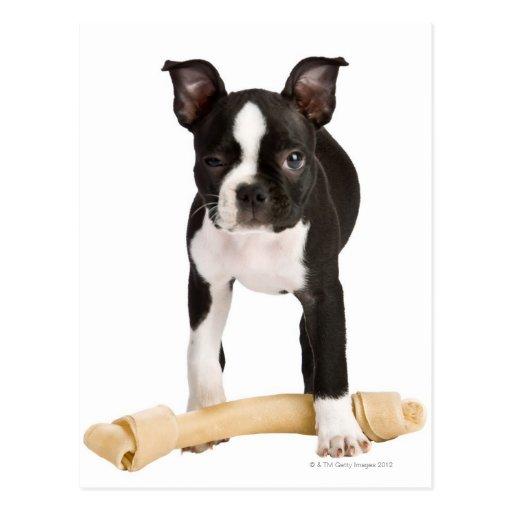 Boston terrier guarding twisty bone postcards