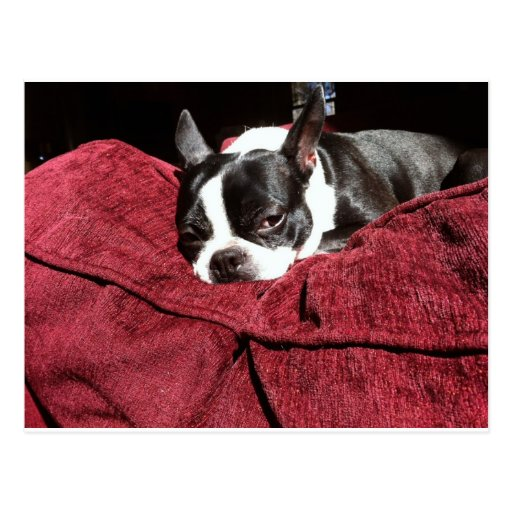 Boston Terrier Holly Postcards