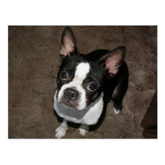 Boston Terrier:  I'm Innocent Postcard