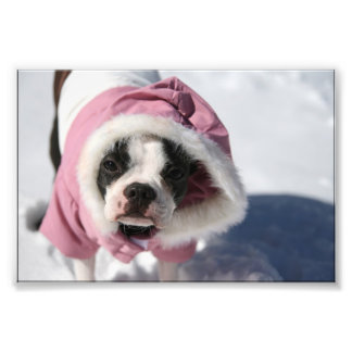 Boston Terrier in Snow Photo Print