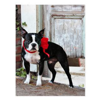Boston Terrier - Miles Postcard