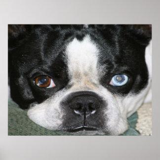 Boston Terrier Impresiones