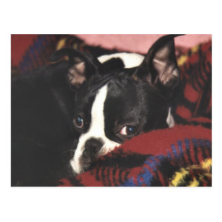 Boston Terrier:  Peek-a-Boo Postcard