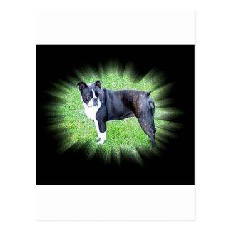 Boston Terrier:  Perfect Postcard