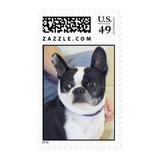 Boston Terrier Photo Postage