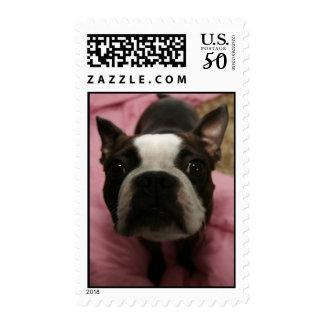 Boston Terrier Photograph Stamp