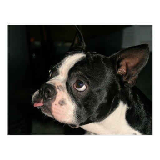 Boston Terrier Post Card Phhhhhtt!