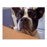 boston terrier postcards