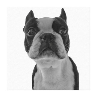Boston Terrier Poster Canvas Print