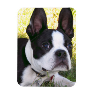Boston Terrier Pup Flexible Magnet Rectangle Magnets