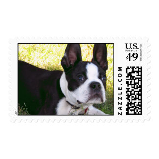 Boston Terrier Pup Postage Stamp