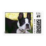 Boston Terrier Pup Postage Stamp