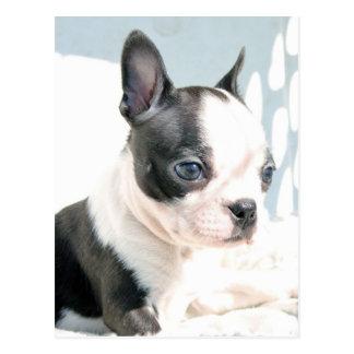 Boston Terrier Pup Postcard
